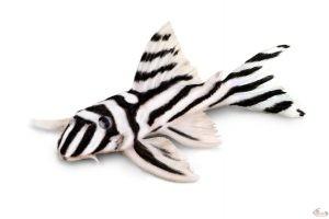 Le Projet L046 vise à pour objectif de réussir à reproduire des Hypancistrus Zebra, un Loricariidé originaire du rio Xingu dans le bassin de l'Amazone