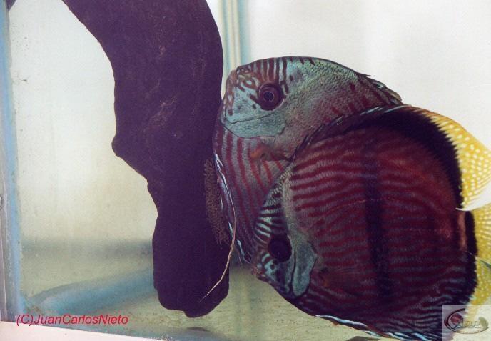 photo4, prise le même jour, vous pouvez voir les oviductes du mâle (en train de féconder les oeufs sur la racine) et de la femelle (qui attend au premier plan)