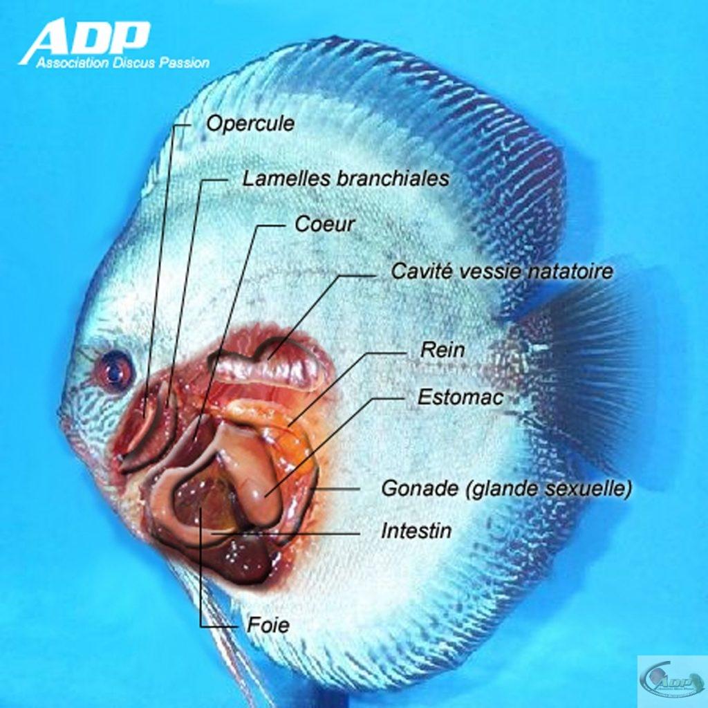 L'anatomie interne du discus