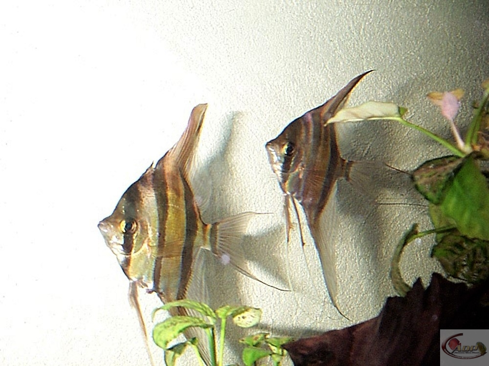 Des Pterophyllum Altum
