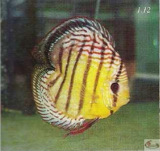 Photo 1.12 Mâle adulte avec la caudale tronquée pour créer une nouvelle forme, commercialise sous l'appellation de discus