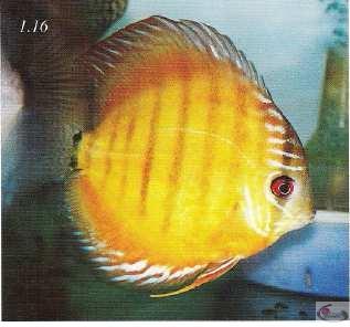 Photo 1.16 La gorge du discus est un autre trait qui nous donneune indication de sa qualité. De tels poissons sont plutôt faibles
