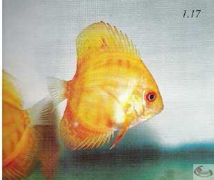 Photo 1.17 La gorge du discus est un autre trait qui nous donneune indication de sa qualité. De tels poissons sont plutôt faibles
