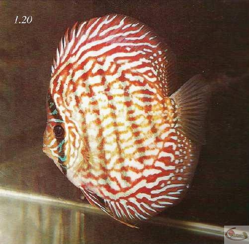 Photo 1.20 : Ce discus a un corps extrêmement haut avec un front incline. Notez soigneusementcomme les barres de stress sont déviées. La colonne vertébralede ce poisson est raccourcie, ce qui le force à croître en hauteur.