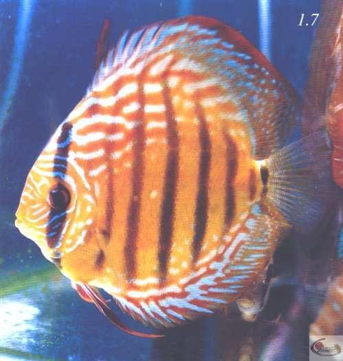 Photo 1.7 Discus adulte avec présentant un défaut au cristallin (entaille en haut à gauche de l'oeil)