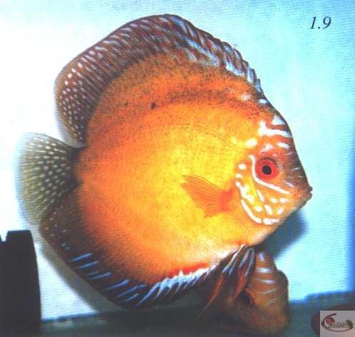 Photos 1.9 La bosse sur le front et la bouche pointue du discus ne fait pas un spécimen de choix. En outre, les rayons épineux de la nageoire dorsale se sont mal développés. Photos 1.9 et 1.10