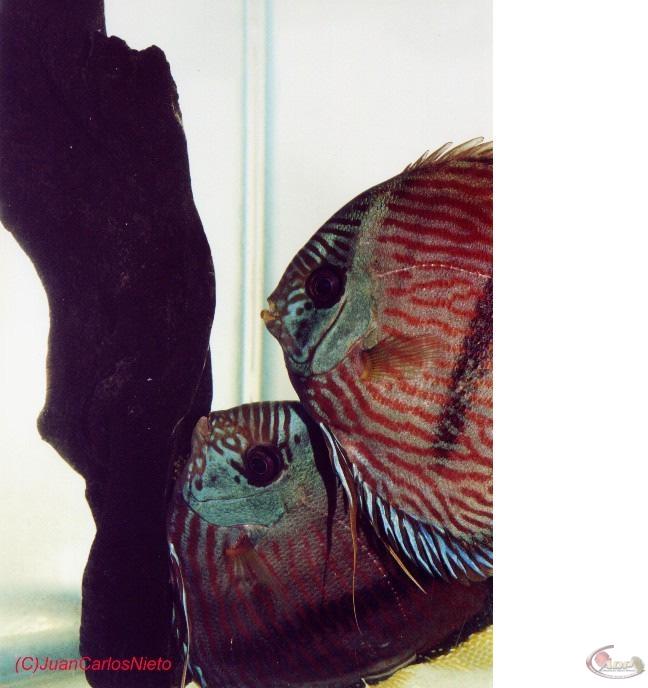 Couple de discus Heckel pendant la ponte: le mâle est en train de fertiliser les oeufs pondus par la femelle Source: Juan Carlos Nieto Hernandez