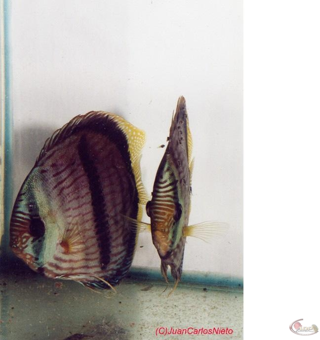 Couple de discus Heckel - 7ème jour de nage libre Source: Juan Carlos Nieto Hernandez