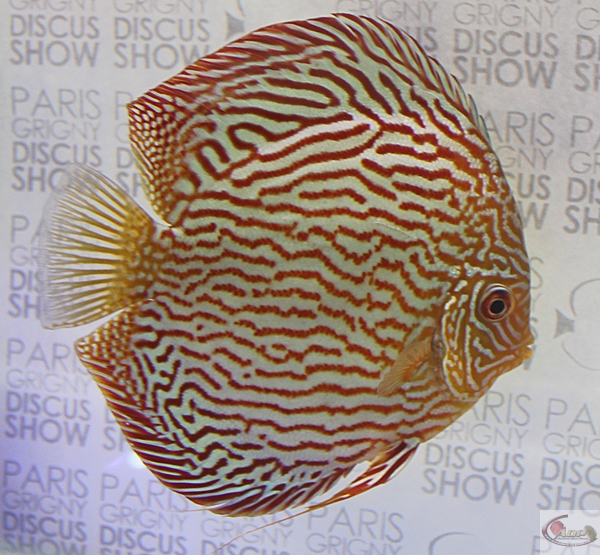 #104 - 1st place Turquoise - Na Discus Malaysia / Chen's Discus (United Kingdom)