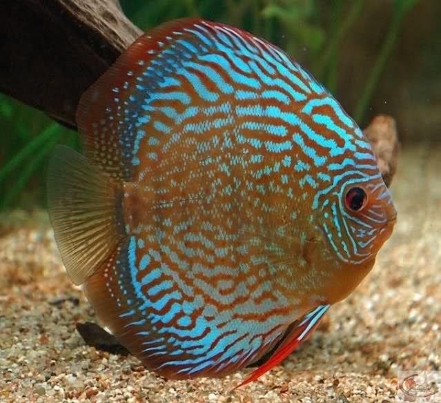 Symphysodon sp1 phénotype bleu