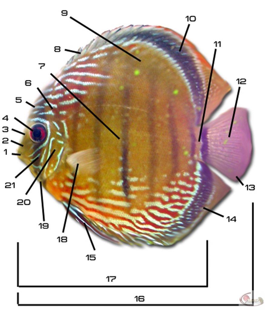 Anatomie du discus